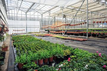 Organic hydroponic ornamental plants cultivation nursery farm. Large modern greenhouse