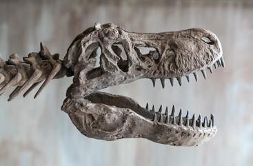 Tyrannosaurus rex skull. Close up of Giant Dinosaur : T-rex skeleton..