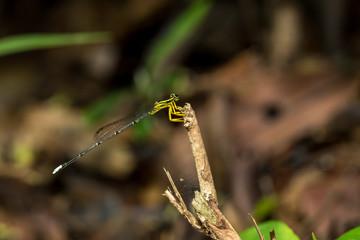 Yellow Featherlegs (Copera marginipes)