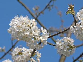 Kirschblüten, blühender Kirschbaum, Prunus avium