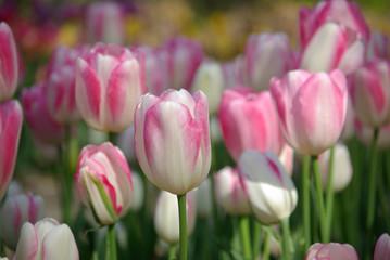 Tulipe rose au printemps