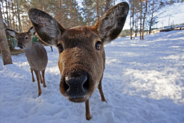 funny face of curious young roe deer in winter forest