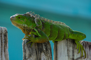 USA, Florida, Huge green adult reptile lizard, Iguana sitting on wooden fence