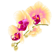 Stem with flowers and  buds beautiful orchid yellow  Phalaenopsis  closeup  on a white background vintage  vector vector illustration editable  hand draw