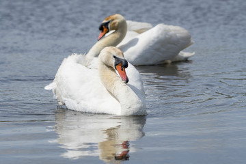 Two mute swans swimming in the water