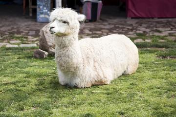 Cute little baby alpaca