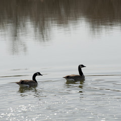 Geese on the lake at Winnipeg Beach, Manitoba Canada