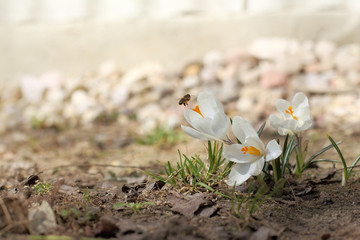 important work in the garden/ landing of a bee on a crocus flower in the spring for pollination