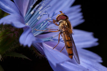 Hoverfly is gathering nectar from chicory flower.