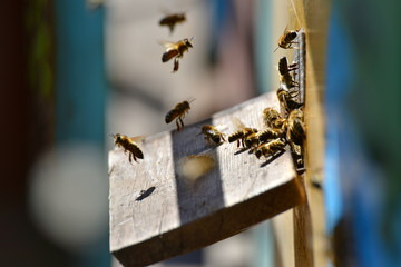 Bees in the apiary fly before the evidence on the board