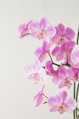 Printed roller blinds Orchid Pink orchid phalaenopsis on a light background. Flowering orchids.