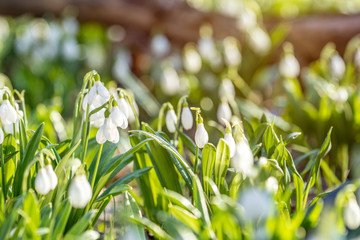 White blooming snowdrop folded or Galanthus plicatus with water drops.