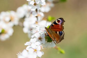 Frühling, Spring, Bloom, Anemone, Butterfly, Schmetterling
