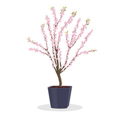 Small plum tree in bloom. Dwarf fruit tree growing in the square flower pot. Growing fruit trees in a container. Spring Bloom. Isolated on white. Garden illustration. Japanese ume tree.