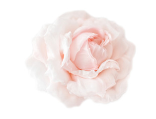 Beautiful cream pink flower rose isolated on white background. Flowering open head of rose without leaves. Close-up rose petals