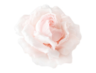 Beautiful single cream pink flower rose isolated on white background. Flowering open head of rose without leaves. Close-up rose petals