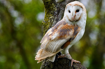 Solitary Barn Owl Perched on a large branch with a natural green bush background