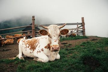 Portrait of a cow in Carpathian village in Summer