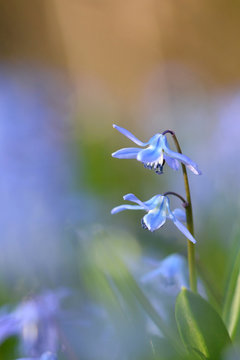 Blaue Blümchen in der Frühlingswiese