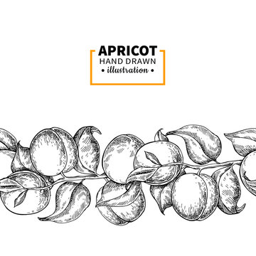 Apricot branch seamless vintage border. Hand drawn isolated fruit. Summer food illustration.