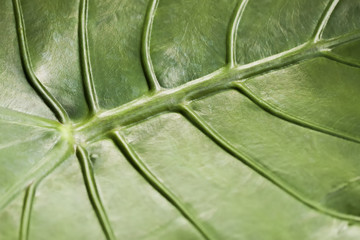 Tropical decorativ plant foliage, Macro photo of Light green leaf , natural pattern, exotic botanical background
