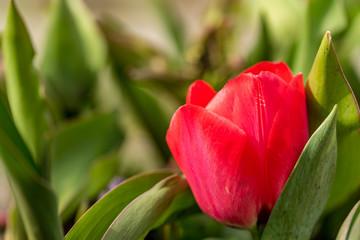 Foto auf Acrylglas Tulpen Macro photo of a blooming tulp in sunshine