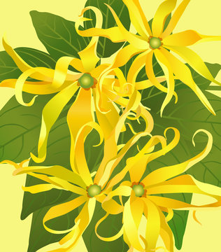 background from flowers ylang ylang