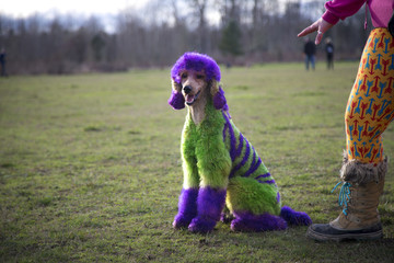 Standard poodle with fur dyed wild colors