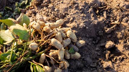 Harvesting peanut in the field