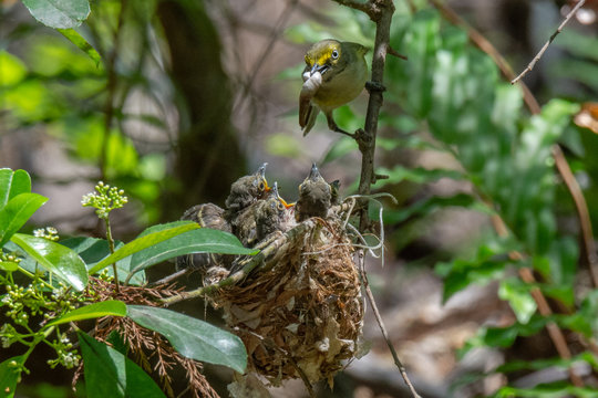 White-eyed Vireo feeding her chicks