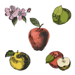 Apple sketch.Vintage ink hand drawn vector of different apples, isolated on white background.