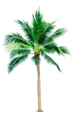 Coconut tree isolated on white background with copy space. Used for advertising decorative architecture. Summer and beach concept. Tropical palm tree.