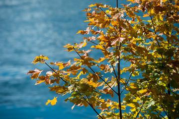 Autumn tree against blue background