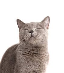 Gray british cat on the white isolated