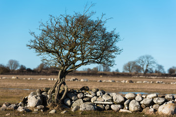 Three small intertwined trees at the end of a stone wall in spring. Location Ottenby nature reserve, Sweden.