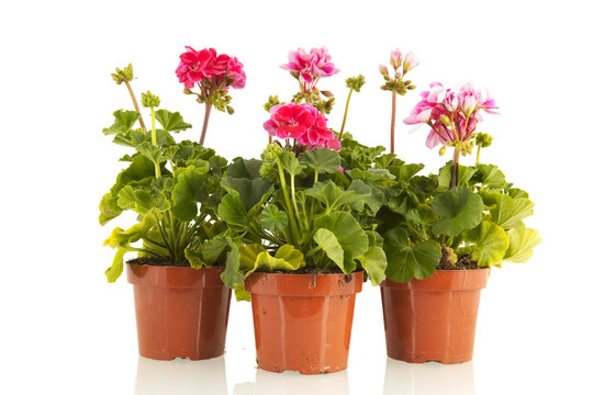 Pelargoniums for the garden