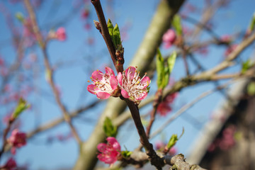 blossom peach flower at spring