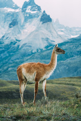 One lama in Patagonia torres del paine blue backgroud