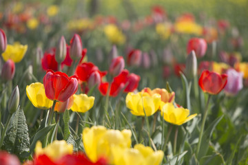 Tulips are beautiful colors are blooming in the garden.