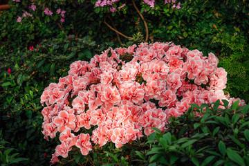 Printed roller blinds Azalea Pink Satsuki azalea blooming(Azalea Rhododendron)