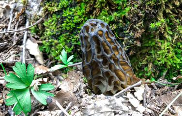 healing and quality mushroom