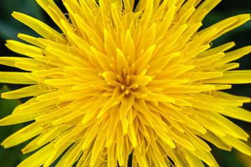 Flor amarilla. Diente de León, Achicoria amarga. Taraxacum officinale.