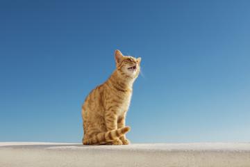 Santorini Stray Ginger Cat