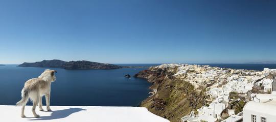 Stray Dog Overlooking Oia Santorini