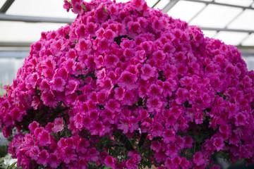 Azalea Rhododendron flowers in the garden