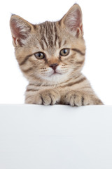 beautiful little cat kitten with signboard isolated on white