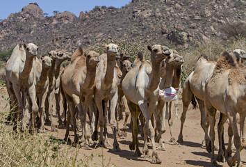 herd of camels in ethiopia