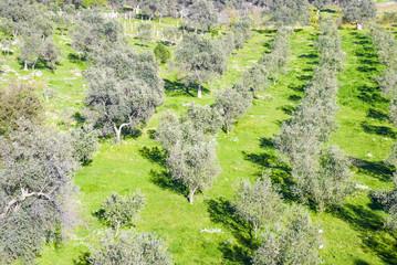 Olive grove in the province of Mugla, Turkey