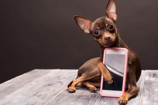 a Russian terrier dog keeps a smartphone