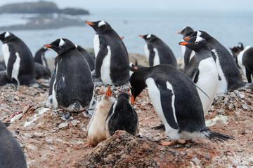 Gentoo penguin's chicks